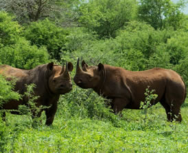 Rhinos at White Mountain Lodge
